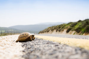Tortoise walking along a road