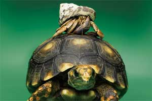 A tortoise with a hermit crab on its back