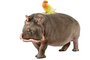 A bird sitting on a hippopotamus