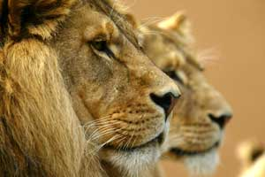 A close-up of the faces of two lions