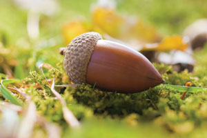 An acorn on a woodland floor