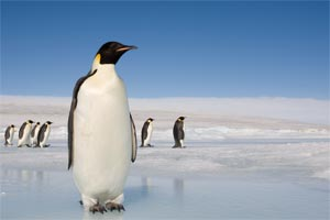 Penguines on ice