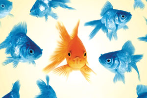 An orange fish in a group of blue fish