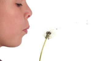 Dandelion being blown