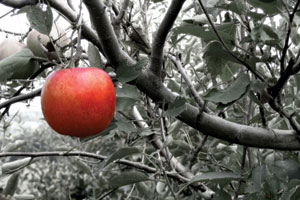 A single red apple in a tree